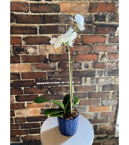 Classic Orchid In Planter