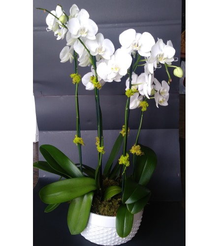 4 White Phalaenopsis Orchids in White Pottery