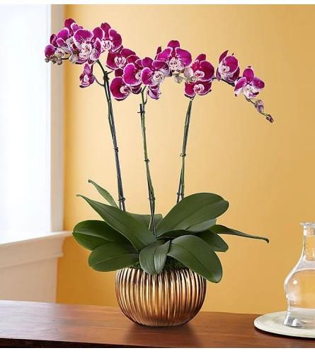 Metallic Fuchsia Orchid