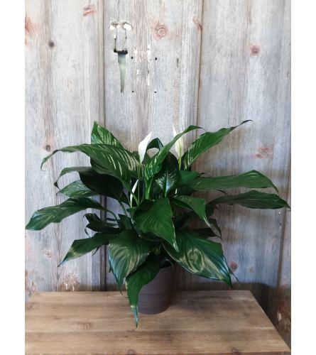 FM - Peace Lily Plant