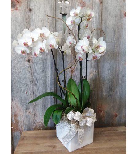 FM - Phalaenopsis Orchid Plant