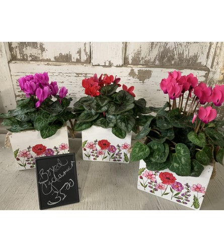 Various Colored Boxed Cyclamen