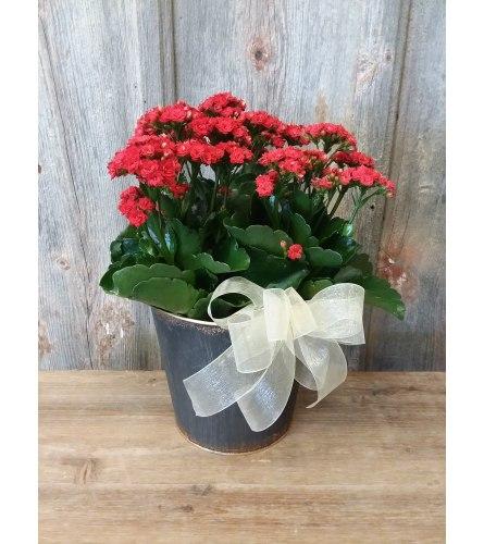 FM - Blooming Kalanchoe Plant