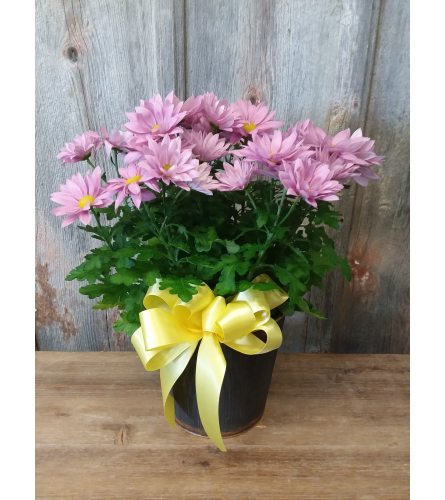 FM - Blooming Mum Plant
