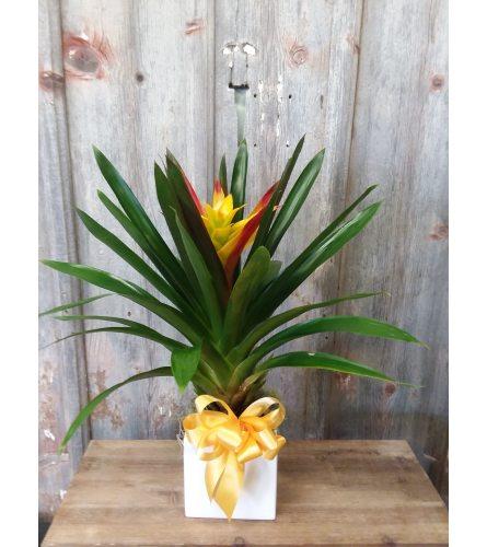 FM - Bromeliad Plant