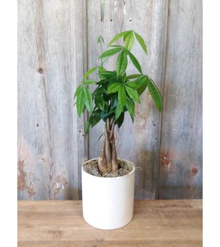 FM - Money Tree Plant