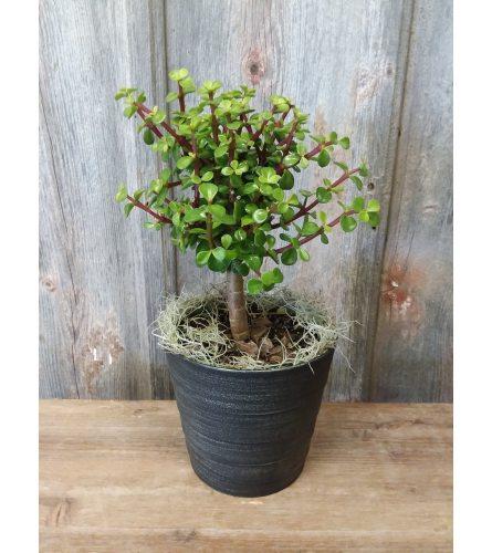 FM - Simply Succulent Plant
