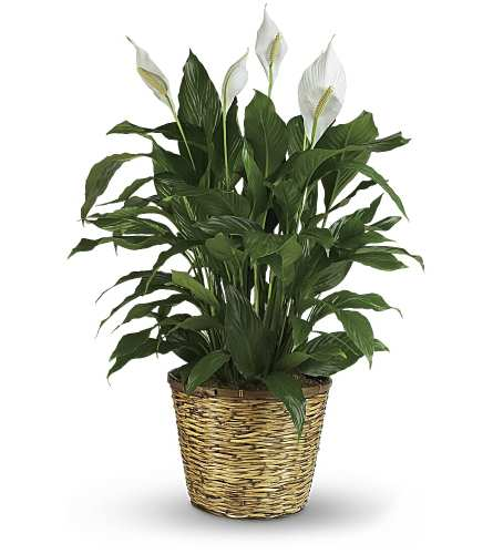 Large Peace Lily in a basket