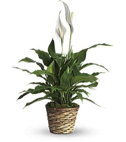 Medium Peace Lily in a Basket