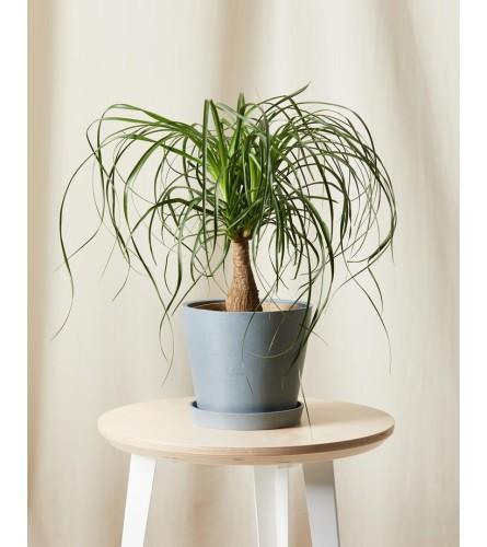 Ponytail palm 2021