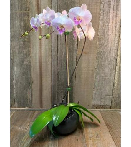 Classy Orchids