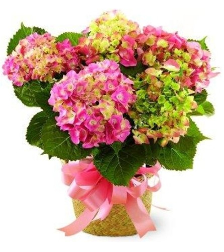 Thoughts of Spring Hydrangea Plant