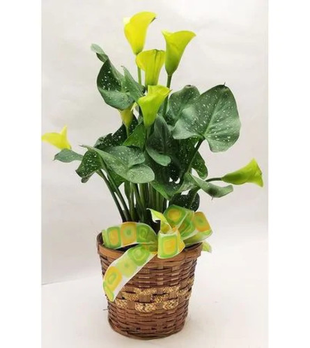 Warm Thoughts Calla Lily Plant