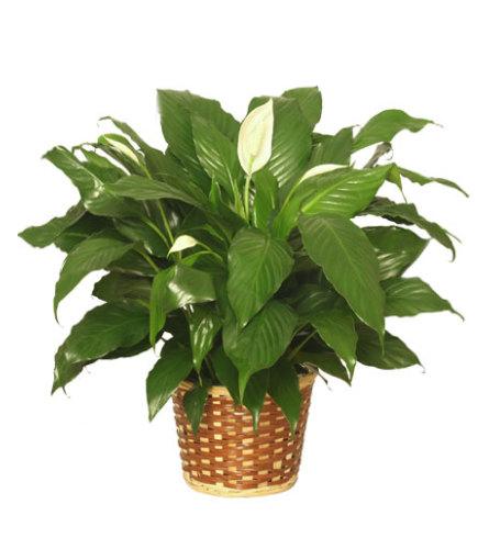 Graceful Peace Lily Plant