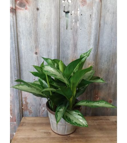 FM - Chinese Evergreen Plant