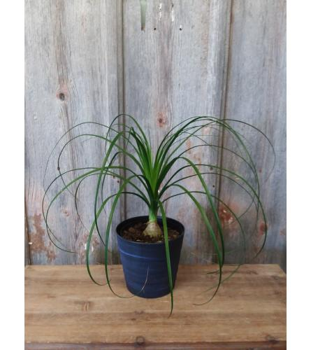 FM - Ponytail Palm Plant