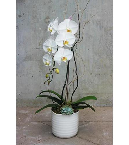 Lux Zen Orchid