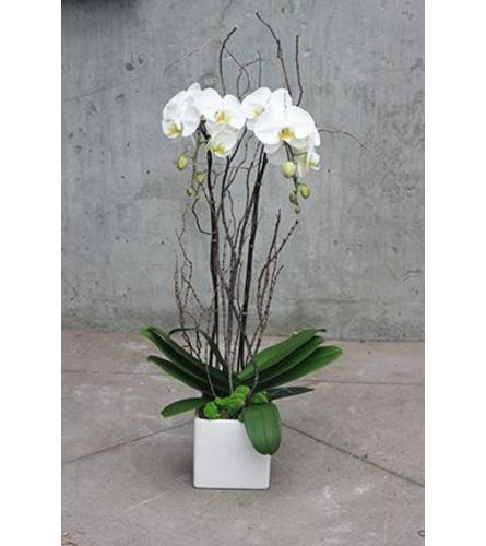 Double Stem White Orchid 2021