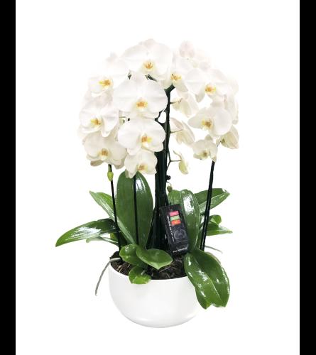 Triple Orchid Pot