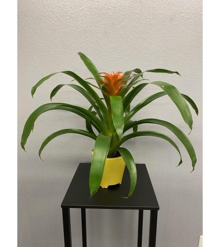 "5"" Bromeliad Plant - Orange"