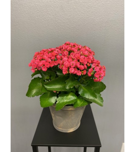 North Texas Kalanchoe