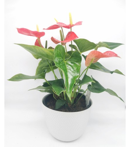 Blooming Hearts Anthurium Planter