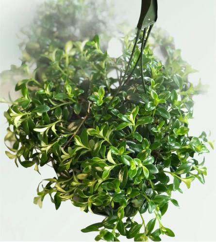 Nemantanthus Goldfish Plant