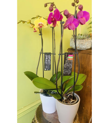 """5"""" Double Spiked Orchid (Various Colours)"""