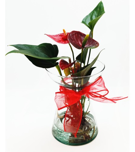 Red Aquatic Anthurium