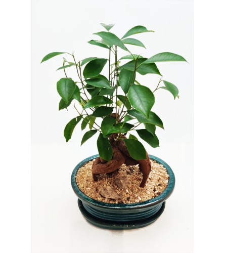 Bonsai Tree - Ginseng Ficus - 7""