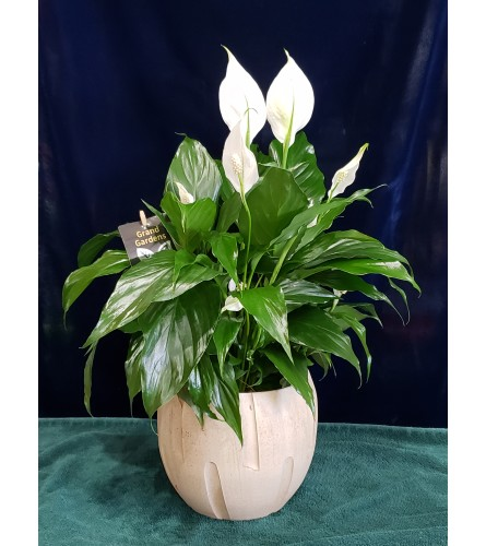 Tropical Peace Lily Plant