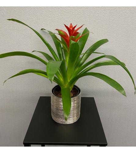 """5"""" Bromeliad Plant Silver etched"""