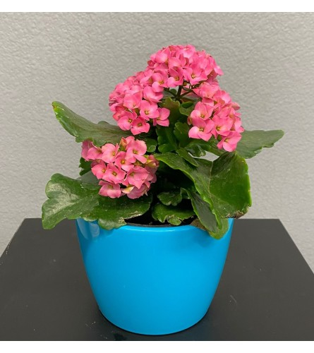Happy Day Kalanchoe 4""
