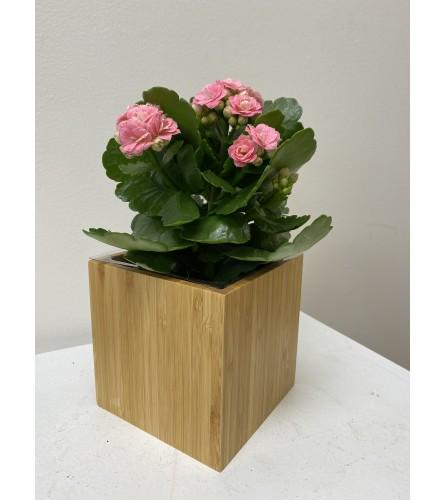 """4"""" Calandiva plant *colour may vary"""