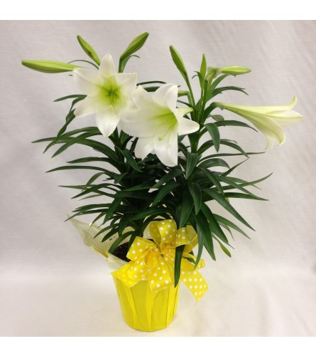 Easter Lily Potted Plant