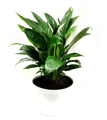 Serenity Peace Lily
