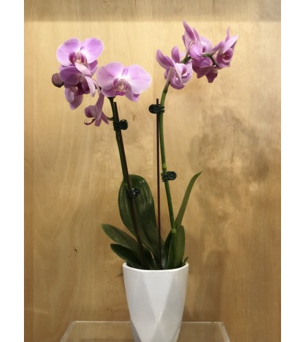 Pretty Petite Phalaenopsis in ceramic