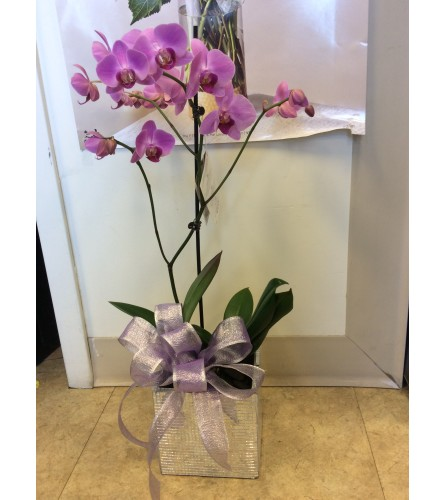 Orchid  plant with any colours