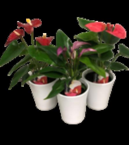 Single Anthurium Ceramic pot