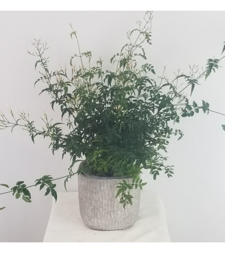 Jasmine Plant (Buy now) while supplies last!