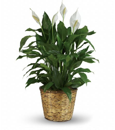Peace Lily Plant (Large)