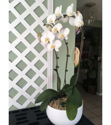 Large Potted Orchid
