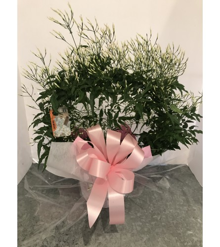 Scented Jasmine Plant