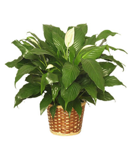 IN DOOR PEACE LILY PLANT