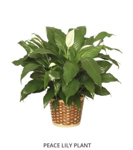 """Peace Lily Plant 6"""" in Basket"""