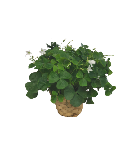 Shamrock Plant in Whicker Basket
