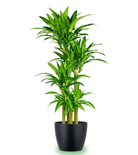 Large Corn Plant 6.5  Foot Tall With wicker basket