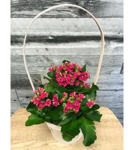Basket Of Kalanchoes