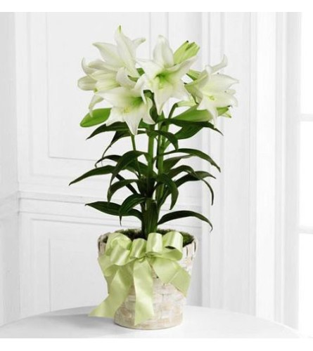 Easter Plant/Lily