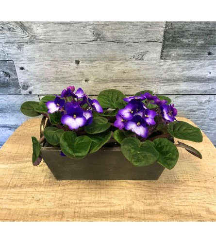 African Violets in Stained Wooden Container
